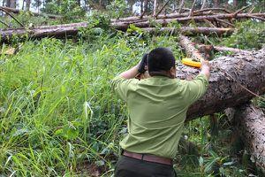 Liên tiếp các vụ phá rừng thông ở Lâm Đồng để chiếm đất