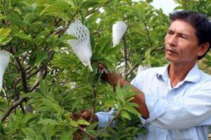 Thiếu liên kết, nhà vườn Tây Ninh chấp nhận bán non mãng cầu