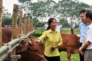 Cải tạo bò thịt bằng thụ tinh nhân tạo, làm lợi hàng tỷ đồng