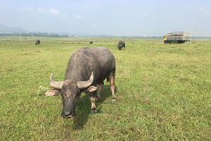 Nghệ An: Chăn trâu bằng ô tô 'khủng'