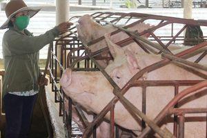 Huyện Thọ Xuân có 71 trang trại được cấp giấy chứng nhận