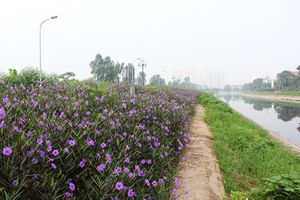 Con đường hoa chiều tím đẹp ngỡ ngàng ven bờ sông Tô Lịch