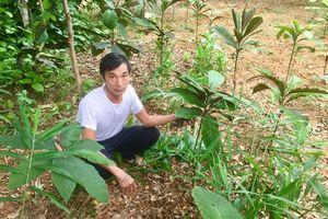 Người đầu tiên trồng thử nghiệm thành công cây dược liệu khôi nhung