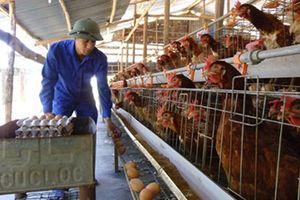 Chuyện hiếm gặp một thôn thu 16 tỷ đồng từ nuôi gà sinh sản