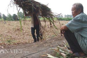 Tổng kết niên vụ mía đường: Bi đát sản lượng tăng, giá giảm thảm