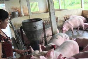 Dịch tả lợn châu Phi vượt tầm kiểm soát, Việt Nam cần chuẩn bị gì?