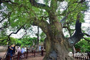 Ngắm cây dã hương nghìn tuổi độc nhất vô nhị TG ở Việt Nam