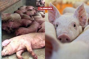 Cảnh báo ngăn chặn Dịch tả lợn Châu Phi có nguy cơ xâm nhiễm vào Việt Nam