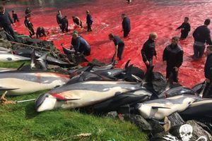 Bàng hoàng cả vùng biển nhuộm đỏ máu của hàng trăm con cá voi bị ngư dân xẻ thịt