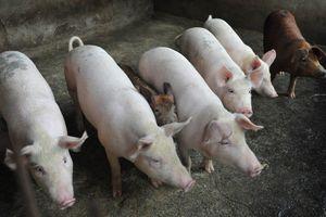 Tạm dừng nhập khẩu thịt heo từ Hungary và Ba Lan vì dịch tả châu Phi