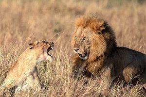 Sau cuộc yêu, sư tử cái gầm gừ vì thất vọng?