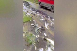 Quốc lộ biến thành 'suối cá' sau khi xe tải lật nghiêng quay ngang đường