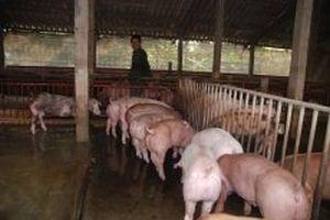 Tạm dừng nhập khẩu thịt lợn và sản phẩm thịt lợn từ Hungary và Ba Lan