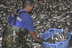 Công nhân hì hục vớt cá chết nổi trắng hồ Tây trong đêm