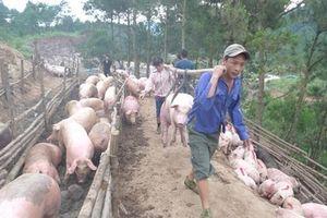 'Bão' dịch tả lợn châu Phi, hải quan dừng thông quan thịt lợn biếu, tặng