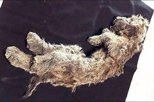 Xác sư tử nguyên vẹn suốt 50.000 năm dưới lớp băng vĩnh cửu