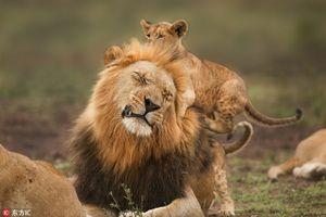 Đi thật xa để trở về, vua sư tử được con đón nồng hậu