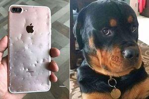 Chết cười với chú chó cắn nát iPhone 8 Plus vẫn trưng ra bộ mặt 'tôi đã làm gì sai'