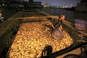Hàng tấn cá chết nổi trắng hồ Tây, công nhân vớt không xuể