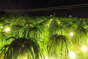 Nguy cơ thanh long phá vỡ quy hoạch đất lúa ở Trà Vinh