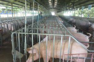 Khoanh vùng dịch, vùng đệm khi xảy ra dịch tả lợn châu Phi