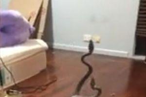 'Hãi hùng': Hỗn chiến rắn đực trong phòng ngủ