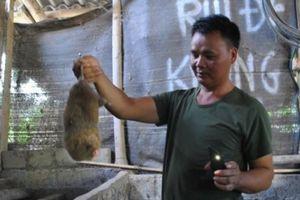 Nuôi loài chuột ăn bí đỏ, mía cây, thịt nung núc, bán 400 ngàn/kg