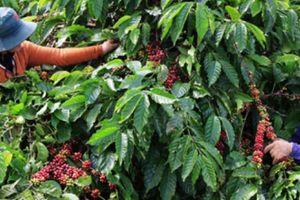 'Đánh số' vườn cà phê trên mạng