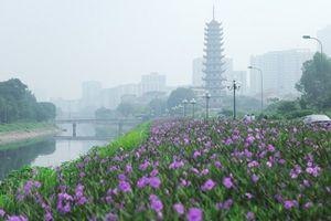 Con đường ven sông Tô Lịch được phủ hoa tím lãng mạn