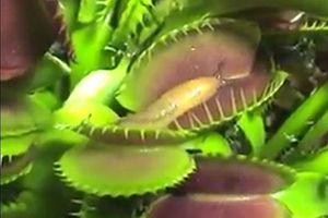 Cận cảnh một pha ăn ốc sên của cây bắt ruồi