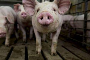 Dịch bệnh tả lợn không lây truyền sang người