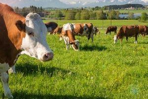 Được thả ra ngoài, 4 con bò lập tức ăn no căng bụng đến chết