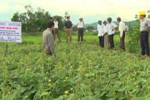 Đất lúa bỏ hoang, đem trồng đậu xanh nhà nông có tiền