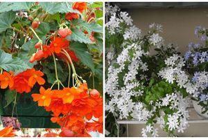 6 loài hoa mùa thu trồng ban công khiến ai cũng mê