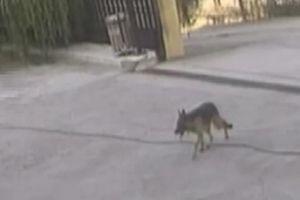 Chú chó bị thương một mình đi vào bệnh viện xin cấp cứu