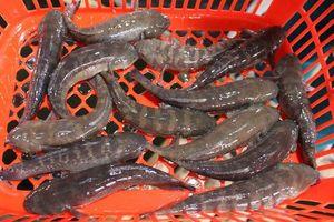 Khám phá ít ai hay về cá bống bớp, đặc sản Nam Định