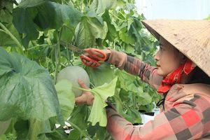 Cô gái làm giàu từ trồng dưa lưới
