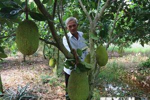 Giá mít Thái siêu sớm tăng mạnh, nông dân vùng ngập lũ hưởng lợi