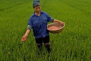Bi kịch của người trồng lúa: Làm 1 mẫu ruộng, tạm đủ ăn là may lắm