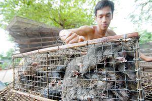 'Ăn theo' mùa nước nổi: Rộn rịp chuột đồng