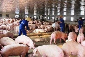 Hà Nội: Chủ động ngăn chặn bệnh dịch tả lợn châu Phi xâm nhiễm