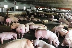 Quảng Nam: Ngăn chặn nguy cơ xâm nhiễm bệnh dịch tả lợn Châu Phi