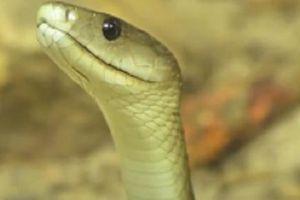 Những loài rắn độc nhất hành tinh, đoạt mạng với một nhát cắn