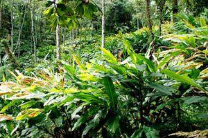 Phát triển cây thảo quả và những ảnh hưởng tiêu cực tới khu rừng tự nhiên