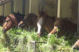 Khi ngựa được nuôi chỉ để dành… cứu người
