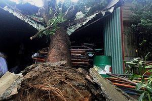 Cây đổ đè sập nhà khiến hai mẹ con tử vong tại An Giang
