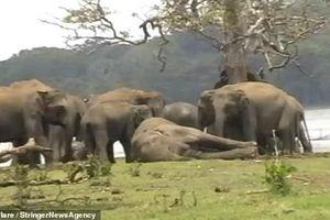 300 con voi tập trung tiễn đưa và tỏ lòng thương tiếc với voi đầu đàn đã chết