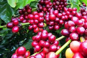 Giá cà phê hôm nay 19/9: Thấp kỷ lục, dưới 32.000 đồng/kg