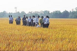 Liên kết sản xuất, phân phối: Giải bài toán đầu ra cho ngành lúa gạo