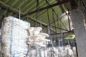 Mỗi năm thu 1 tỷ đồng nhờ tuyệt chiêu cho nấm 'ăn' gạo, đỗ tương